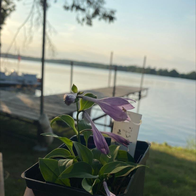 Small-Leaf Spiderwort plant in Cedar Rapids, Iowa