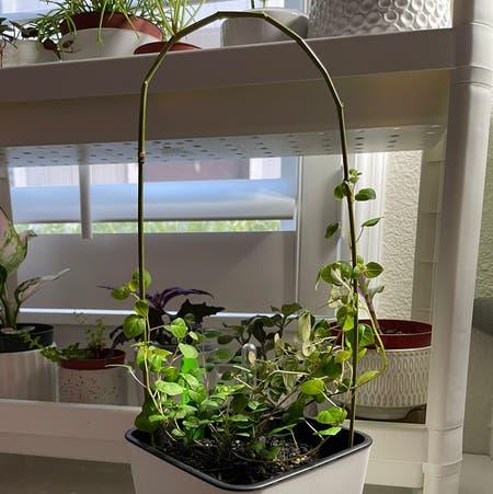 Photo of the plant species Fuchsia Procumbens by Kitzel named Vining Carmen Miranda on Greg, the plant care app