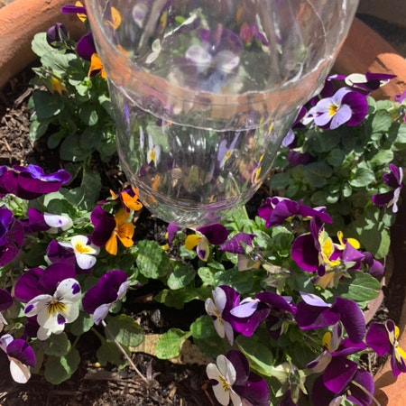 Photo of the plant species Wild pansy by 0x3 named Flower garden on Greg, the plant care app