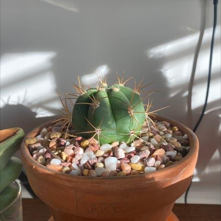 Photo of the plant species Argentine Saguaro by Crunchwrap.supr3me named Karen on Greg, the plant care app