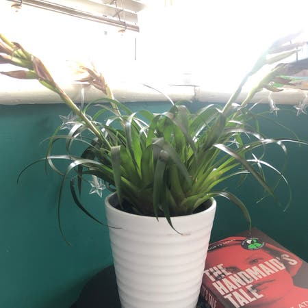 Photo of the plant species Vriesea Shannon by Mya named Shannon on Greg, the plant care app