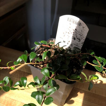 Photo of the plant species Red Bearberry by Springsoasis named Kinnikinnick on Greg, the plant care app