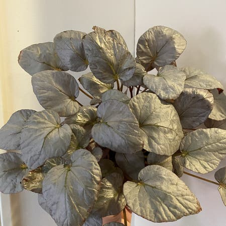 Photo of the plant species Bolivian Begonia by Josajimi named Begonia'Silver Limbo' on Greg, the plant care app