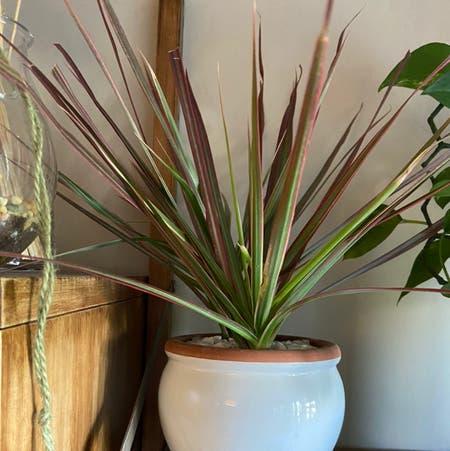 Photo of the plant species Dracaena marginata 'Bicolor' by Jb named Gomez on Greg, the plant care app