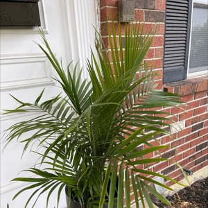 Majesty Palm plant photo by Alyson named Queen Bee on Greg, the plant care app.