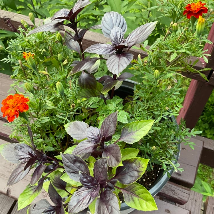 Photo of the plant species Basil Purple Ruffles by Eric named High Thai on Greg, the plant care app