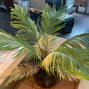 Sago Palm plant photo by Maggie named Spikey Boi on Greg, the plant care app.