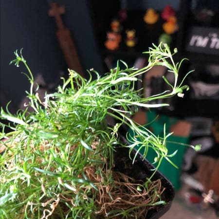 Photo of the plant species Sagina Procumbens by Spencer named Mossy on Greg, the plant care app