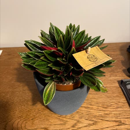 Photo of the plant species Peperomia Caperata Rosso by William named Rosso on Greg, the plant care app