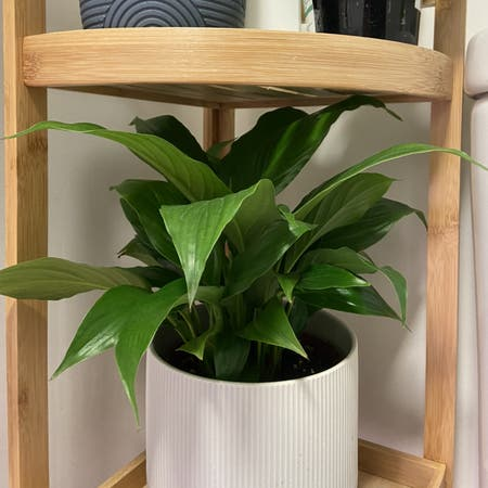 Photo of the plant species Romano Peace Lily by Hallewatt123 named Moon on Greg, the plant care app