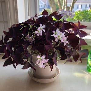 Purple Shamrocks plant photo by Stephanie named Butterflies on Greg, the plant care app.