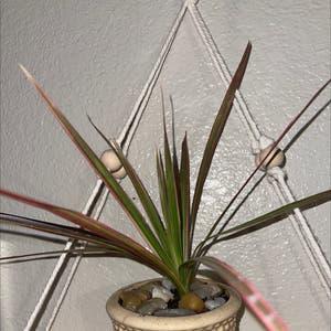 Dragon tree plant photo by Annaleece named Araña 💕 on Greg, the plant care app.