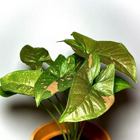 Photo of the plant species Pink Splash Arrowhead Vine by Fat.jungle named Pink splash allusion on Greg, the plant care app