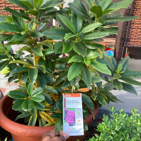Photo of the plant species Rhododendron Arboreum by Cameron named Land of Kush on Greg, the plant care app