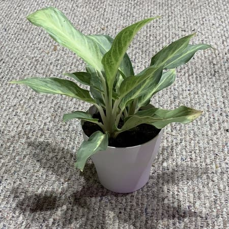 Photo of the plant species Chinese Evergreen 'Ghost' by Padraicmyprince named CE-Ghost on Greg, the plant care app