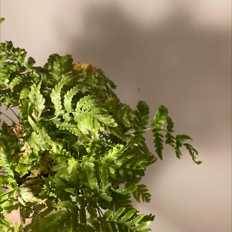 Oak fern plant in Prague, Hlavní město Praha
