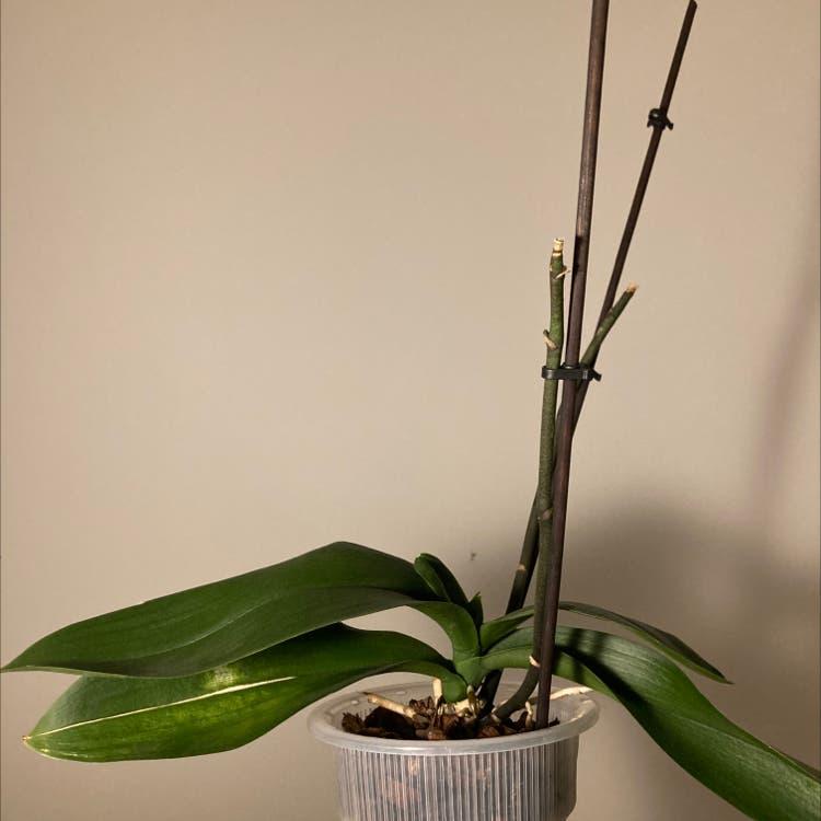 Phalaenopsis orchid plant in Prague, Hlavní město Praha