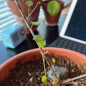 Maidenhair vine plant photo by Doornbell named Liebe on Greg, the plant care app.