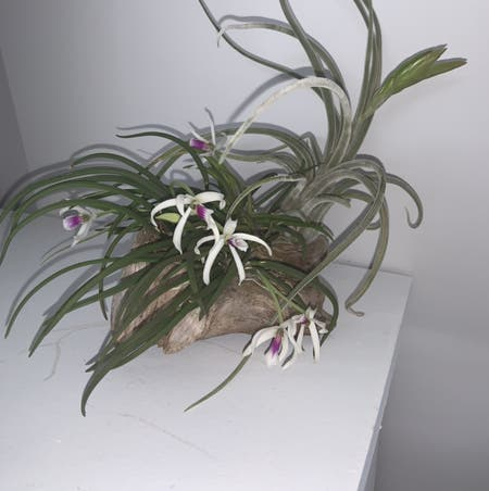 Photo of the plant species Leptotes bicolor by Mumbles named Leptotes bicolor on Greg, the plant care app