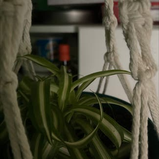 Spider Plant plant in Sonoma, California