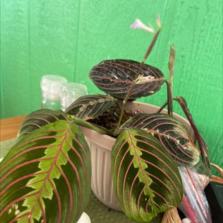 Green Prayer Plant plant in Sonoma, California