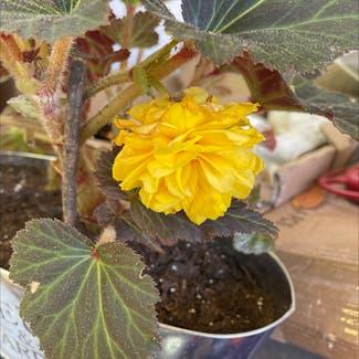 Tuberous Begonia plant in Sonoma, California