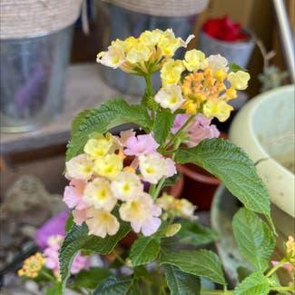 Lantana plant in Sonoma, California