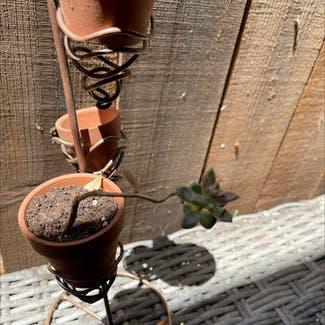 Pearl Echeveria plant in Sonoma, California
