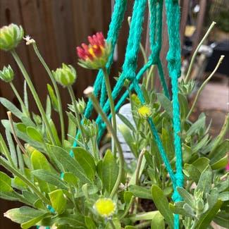 Gaillardia plant in Sonoma, California