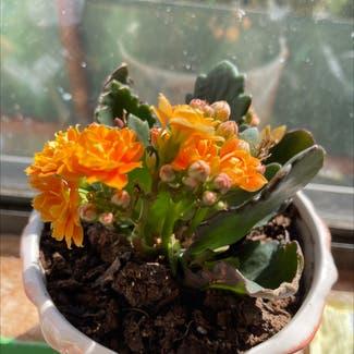 Florist Kalanchoe plant in Sonoma, California