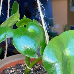 Raindrop Peperomia plant