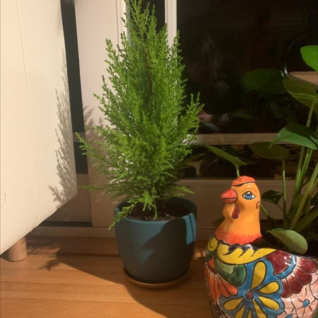 Photo of the plant species Monterey cypress by Chiggin named Lemon Cypress on Greg, the plant care app