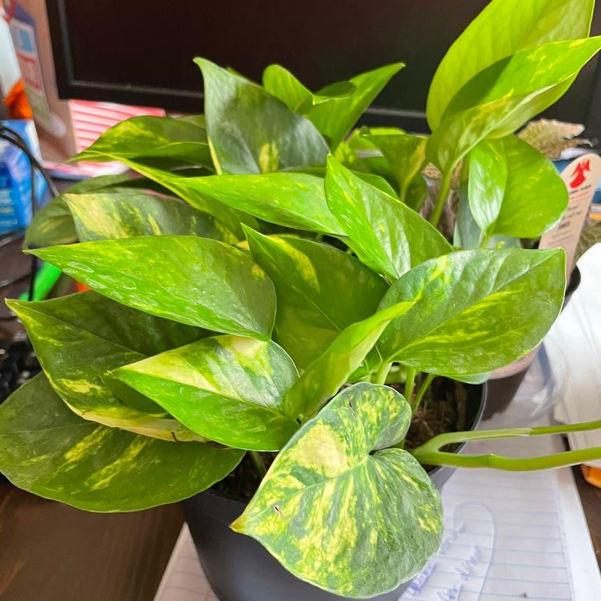 Pothos 'Jade' plant in Lancaster, Pennsylvania