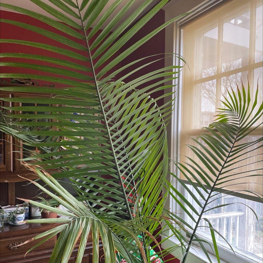 Majesty Palm plant in Lancaster, Pennsylvania
