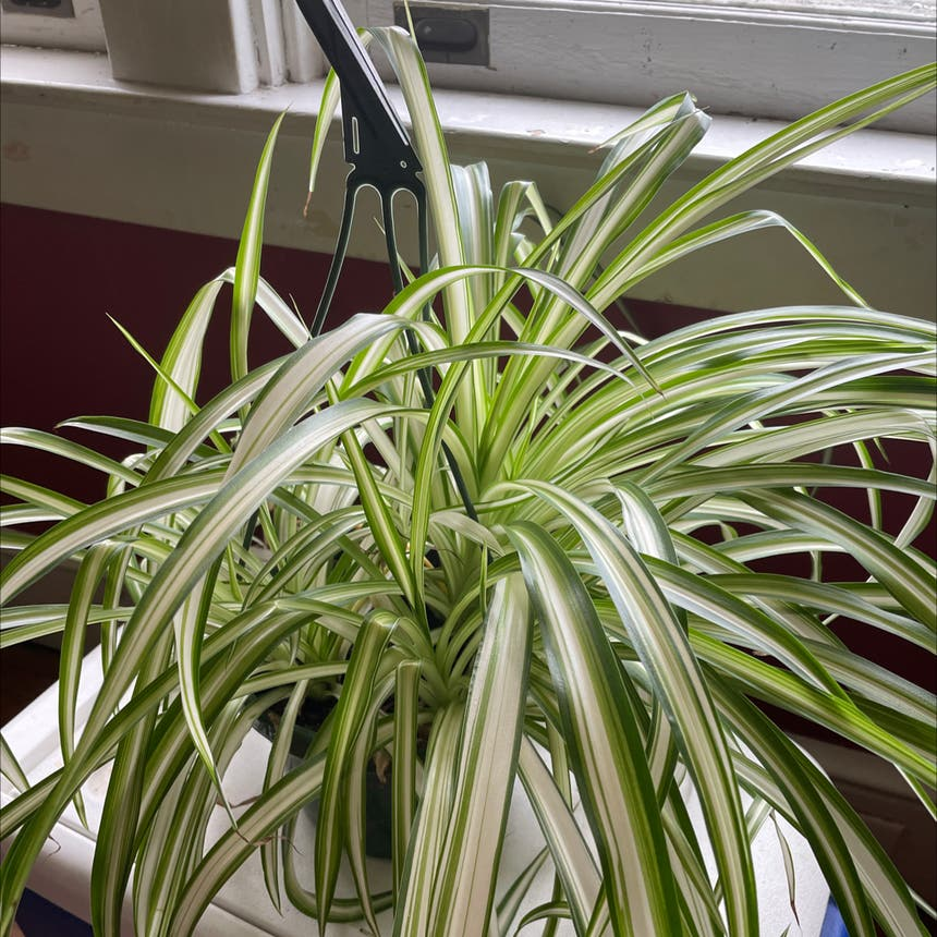 Spider Plant plant in Lancaster, Pennsylvania