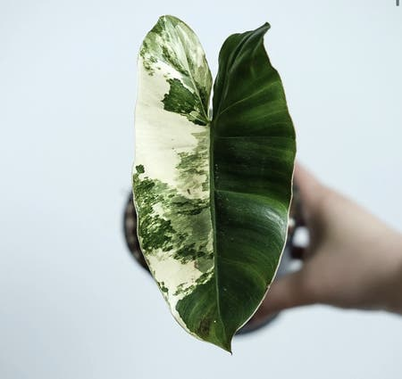 Photo of the plant species Burle Marx Variegata by Cassandra named Burle Marx Variegata on Greg, the plant care app