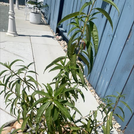 Photo of the plant species Prunus Persica by Flor named Shakira on Greg, the plant care app