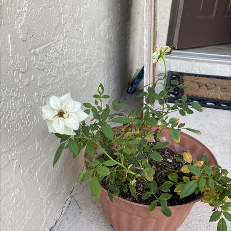 Photo of the plant species Dog Rose by Lauren named Rosey on Greg, the plant care app