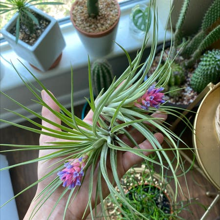 Photo of the plant species Aeranthos Air Plant by Justplanty named Pinky & Purp on Greg, the plant care app