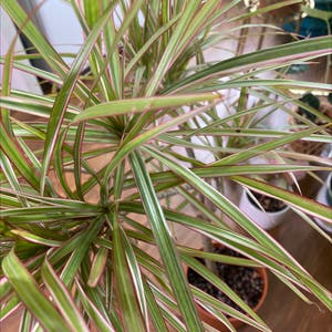 Dragon tree plant photo by Justplanty named Charlotte on Greg, the plant care app.
