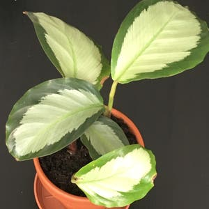 Calathea picturata 'Argentea' plant photo by Phantasmagoria named Minerva on Greg, the plant care app.