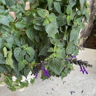 anise-scented sage plant in Eden Prairie, Minnesota