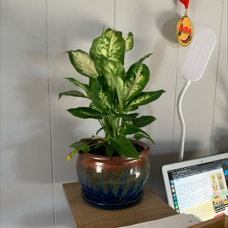 Photo of the plant species Dieffenbachia 'Compacta' by Jamieschlier named Josie on Greg, the plant care app