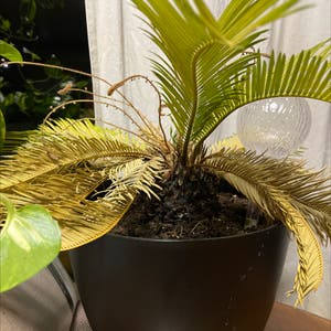 Sago Palm plant photo by Thegreenwitch named Spam on Greg, the plant care app.