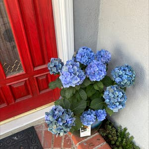 French Hydrangea plant photo by Eddie named Your plant on Greg, the plant care app.