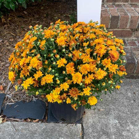 Photo of the plant species Indian Chrysanthemum by Emmanim named Winifred on Greg, the plant care app