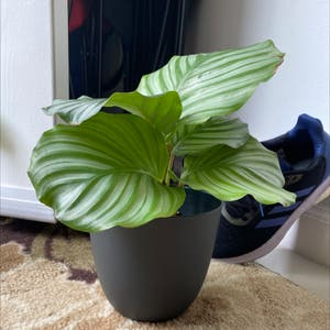 Round-leaf Calathea plant photo by Amy named Callie on Greg, the plant care app.