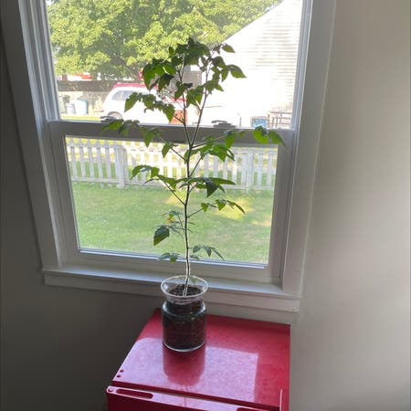 Photo of the plant species Cherry Tomato by Beaddude named Mator on Greg, the plant care app
