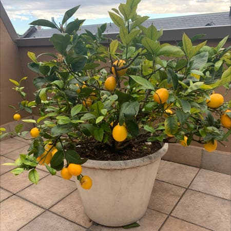 Photo of the plant species Dwarf Meyer Lemon Tree by Harlemgreen named Leonie on Greg, the plant care app