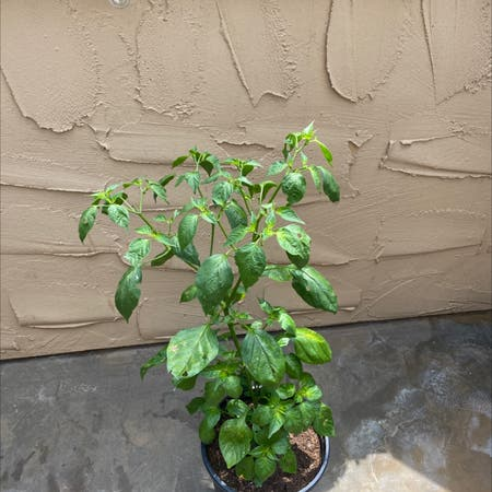 Photo of the plant species mad hatter pepper by Planetplanted named ben on Greg, the plant care app